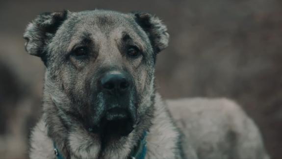 Bir Köpeğin Hüzünlü Gözleri Arkasındaki Hikaye: Gümüş (2018)
